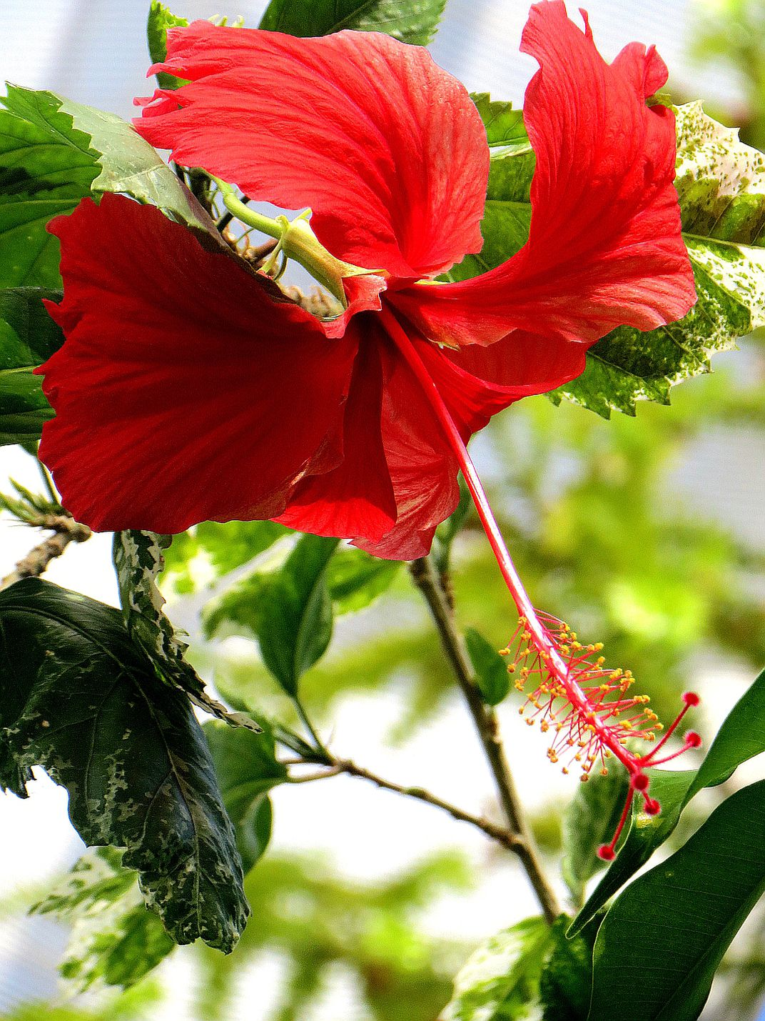 Red hibiscus flower in the ferris state university greenhouse photo contest slideshow izmirmasajfo