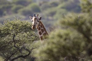 Prototype solar transmitters fit to endangered giraffe