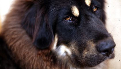 Chinese City Institutes One-Dog Policy