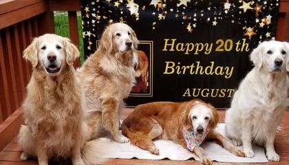 Meet Augie, the 20-Year-Old Golden Retriever Who Might Have Just Set an Age Record