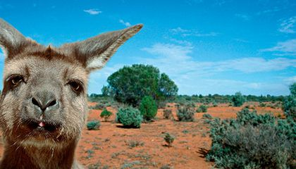 Koalas, kangaroos and wallabies are abundant on the island