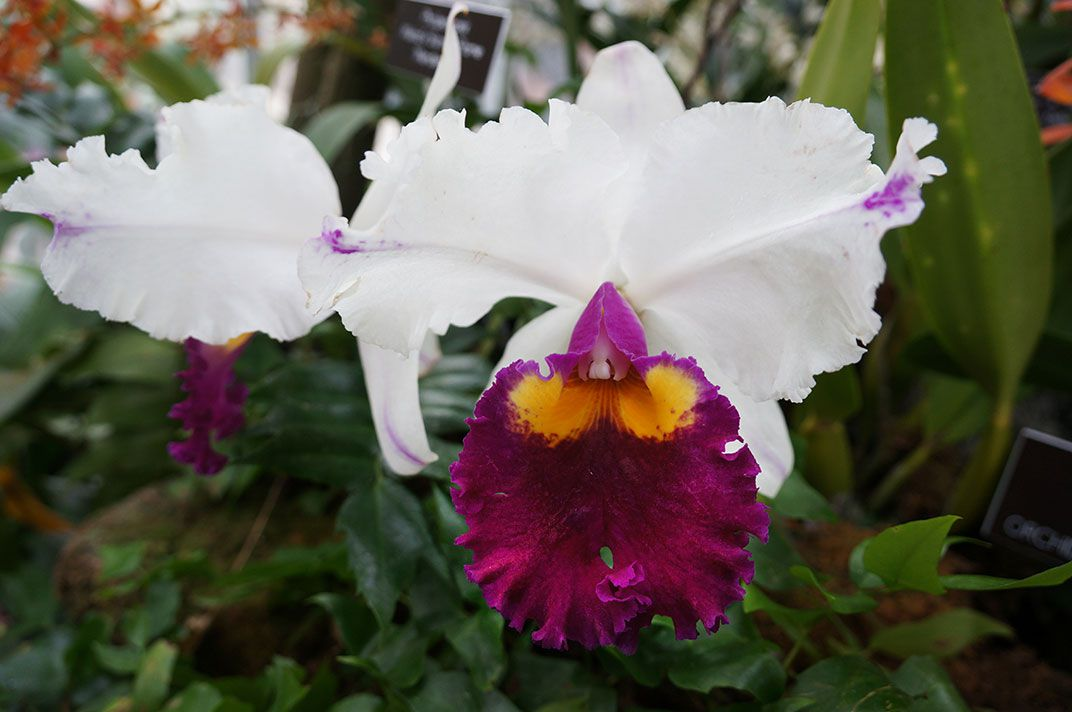 Orchidelirium An Obsession With Orchids Has Lasted For Centuries At The Smithsonian Smithsonian Magazine