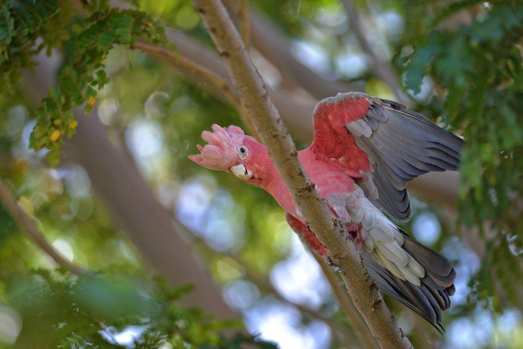 Galah on a branch