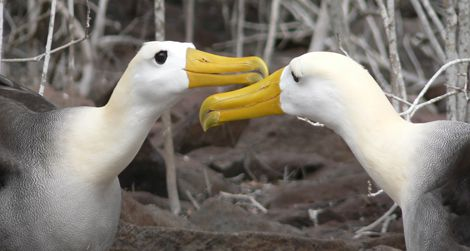 Two waved albatrosses