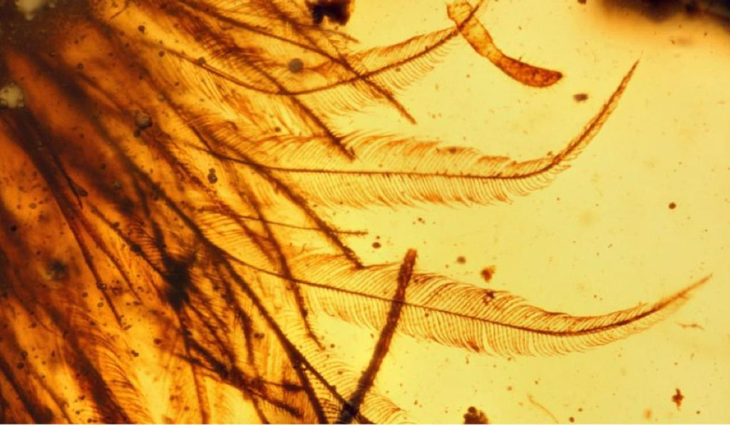 Closeup of feathers from a dinosaur (Coelurosaur) that lived 99 million years ago.