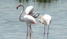Pink Flamingoes Attract Mates With Make-Up