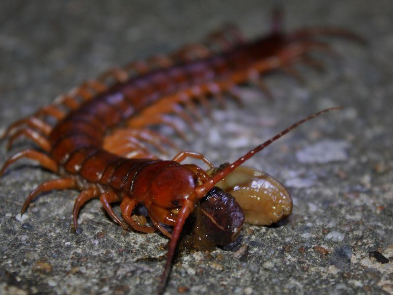 centipede venom is a more potent pain killer than morphine smart
