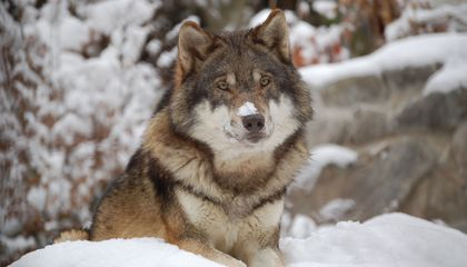 Why Wolves Work Together While Wild Dogs Do Not