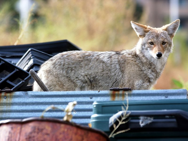 An urban coyote in Denver