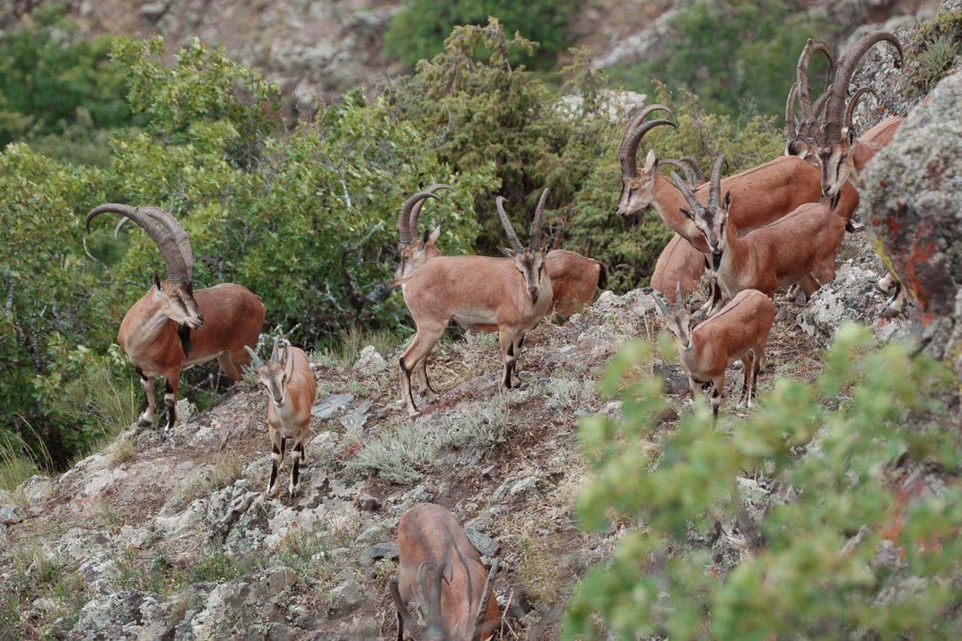 A trip of goats stand together on rocky, mountainous terrain.