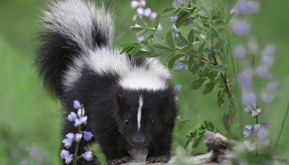 Suburban Skunks are on the Rise
