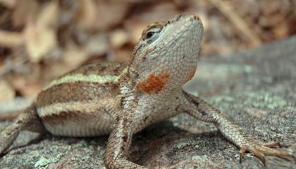Female Lizard Uses Patches of Color to Announce Mother Potential