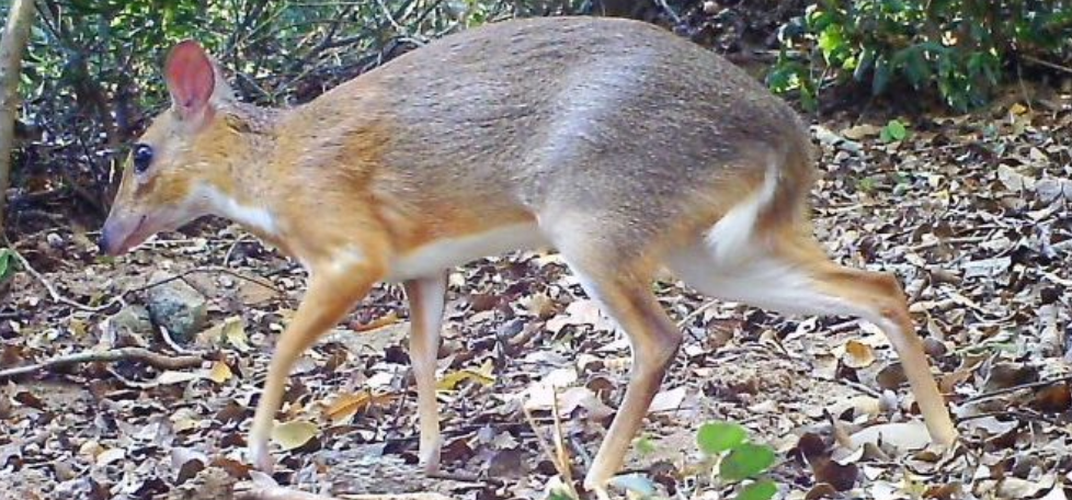 Caption: Vietnamese Mouse-Deer Spotted Once Again
