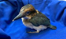 Raising One of the World's Rarest Birds