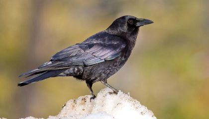 Four-Month-Old Ravens Rival Adult Great Apes in a Battle of the Brains
