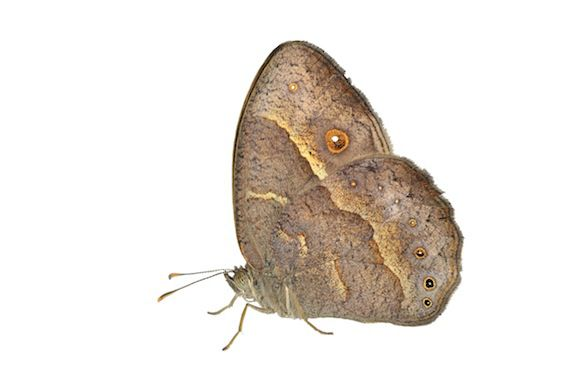 female butterflies can sniff out inbred males smart news smithsonian