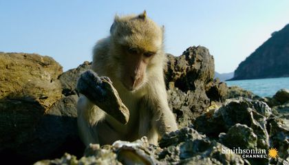 Don't Be Jealous of These Oyster-Slurping Beach Monkeys
