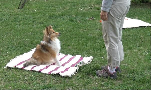 A brown dog with a white chest is shown sitting with its ears perked up on a white and pink stripped mat. A human is standing in front of the dog. The dog is patiently waiting for a command from the human.