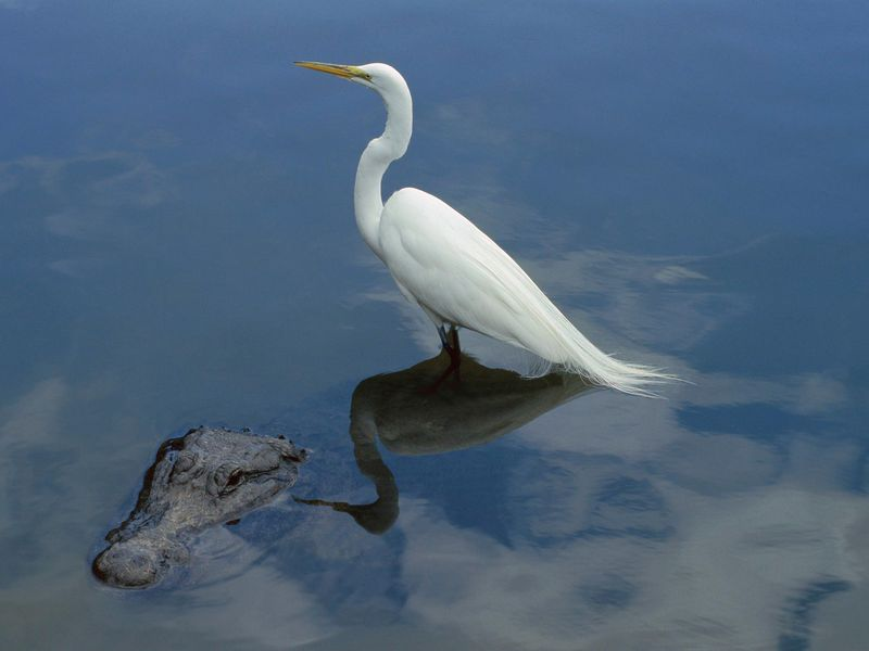 Great Egret and Alligator