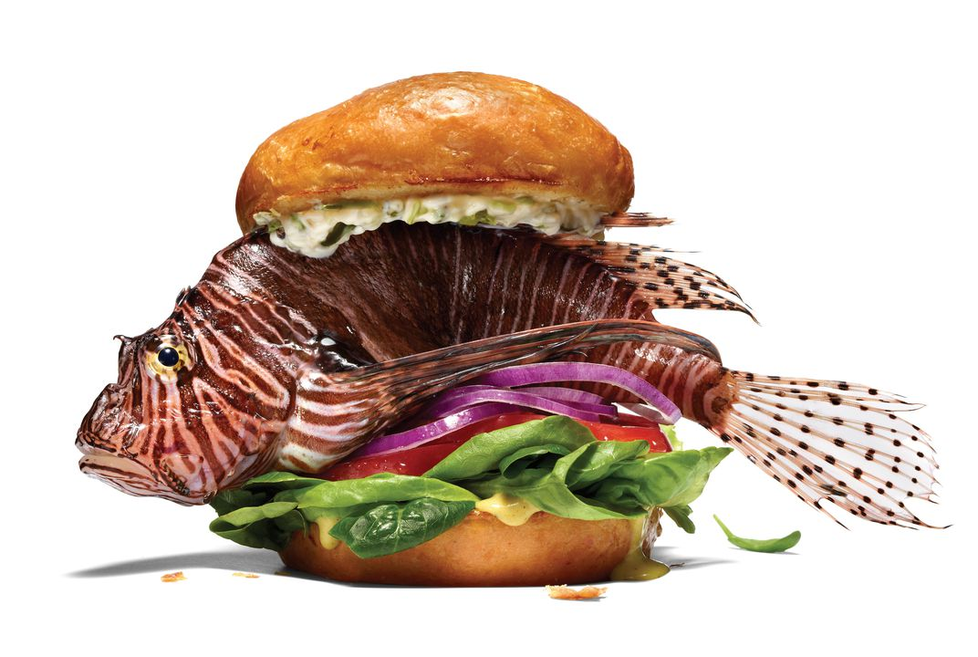 The Lionfish Have Invaded But A Ragtag Army Of Divers And Chefs Are