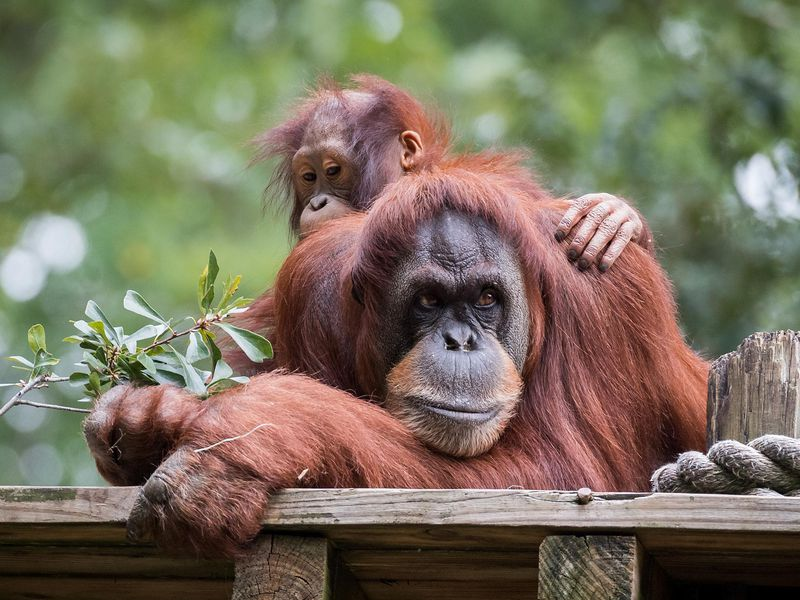 Orangutans Are the Only Non-Human Primates Capable of 'Talking' About the Past