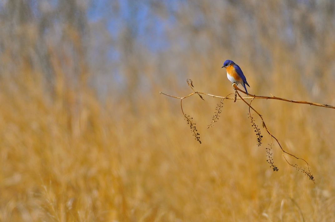 An eastern bluebird perched on a pokeweed branch in a warm-season grass field.