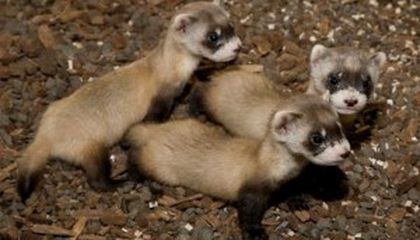 Ferrets Have a Record-Breaking Breeding Season at the National Zoo
