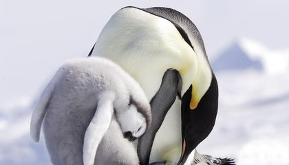 Emperor Penguin Colonies Will Suffer As Climate Changes