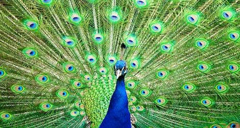 The Indian Peafowl may need help adapting to climate change.