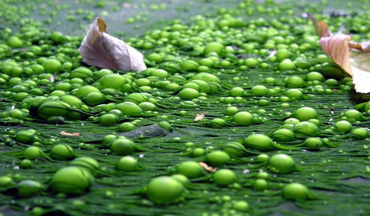 How Microscopic Algae Kick-Started Life