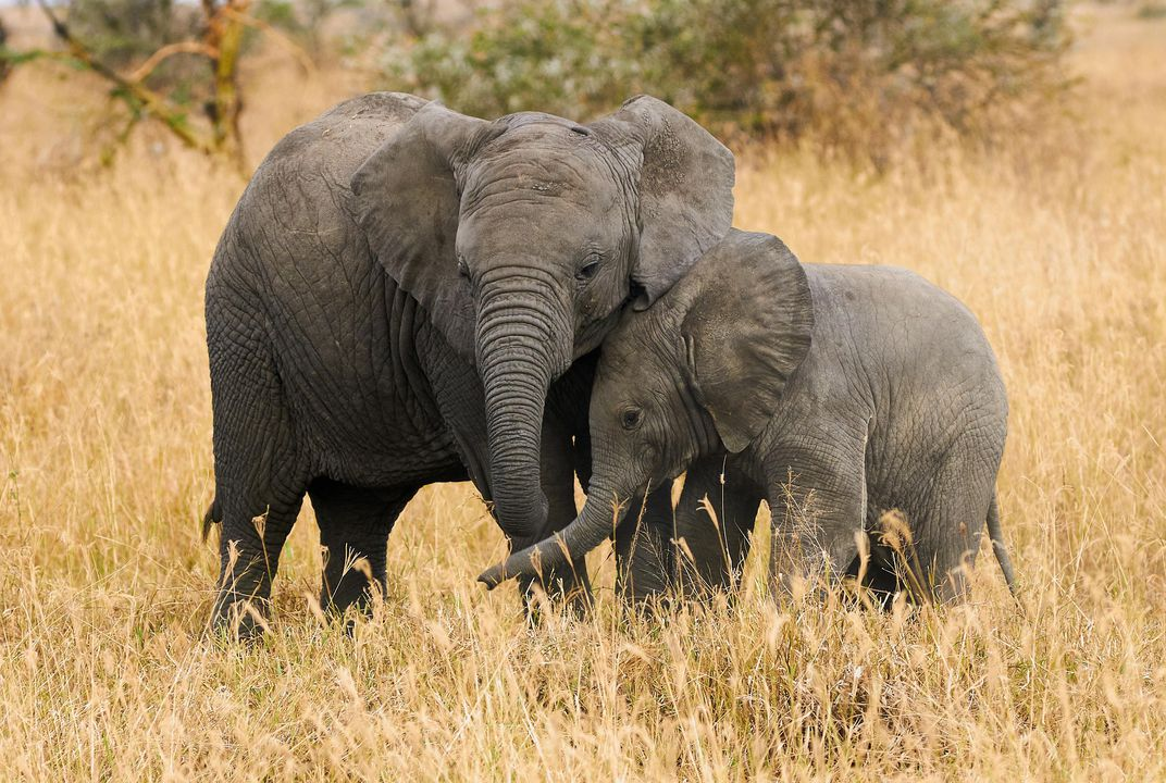 Wildlife Trade Conference Imposes Near-Total Ban on Sending Wild African Elephants to Zoos