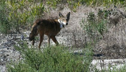 Conservationists Butt Heads With U.S. Government Over Red Wolf Repopulation Program