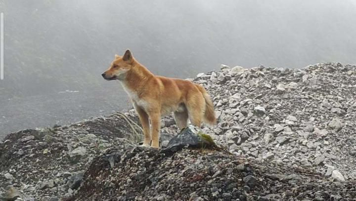 Thought to Be Extinct, New Guinea's Singing Dogs Found Alive in the Wild