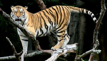 China Pushes for Tiger Meat on the Menu