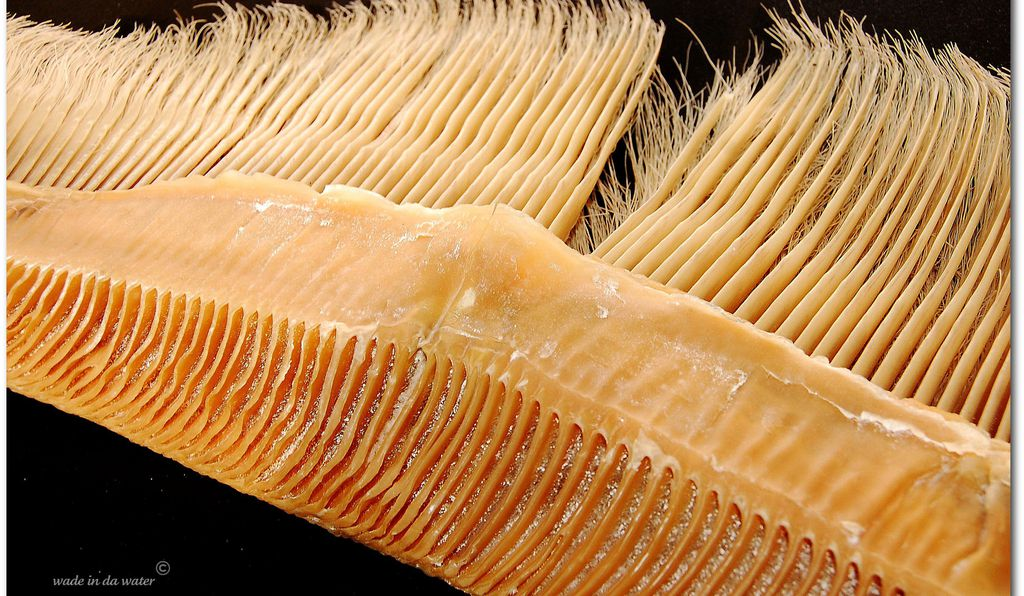 "Baleen is a remarkably flexible material—so much so that some researchers refer to it as ""nature's plastic."" Indigenous peoples have, among other things, woven this pliable material into baskets and stripped it to make fishing lines."