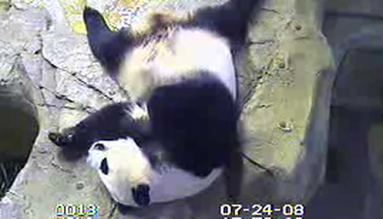 Fingers Crossed. A Panda Preggers at the National Zoo???!