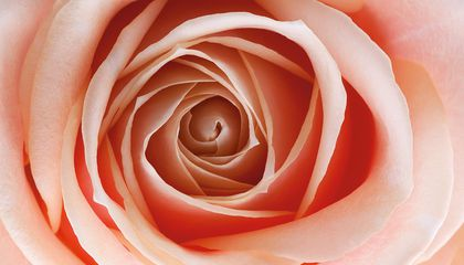 A New Rose Is Part Plant, Part Color-Changing Machine