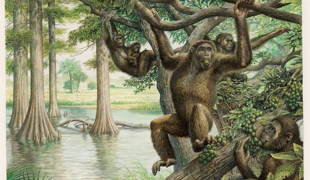 With a more flexible lower back, <em>Rudapithecus</em> when the great ape came down to the ground, it might have had the ability to stand upright more like humans do.