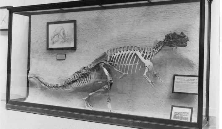 The Smithsonian embedded the first Ceratosaurus ever discovered in the wall of the National Museum of Natural History in 1911. It remained stuck in the wall for more than 100 years. (Smithsonian Institution)