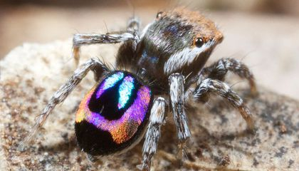 How Peacock Spiders Make Rainbows on Their Backsides