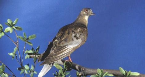 Martha, the last surviving member of the passenger pigeon species