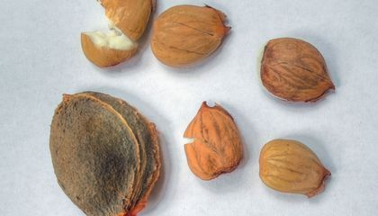 Man Poisons Himself by Taking Apricot Kernels to Treat Cancer