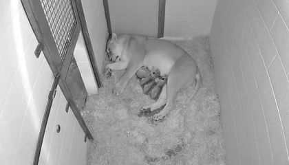 National Zoo Celebrates Second African Lion Cub Birth in Three Months