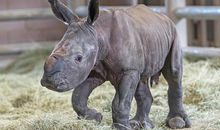 Artificially Conceived Southern White Rhino Offers Hope for Critically Endangered Cousin