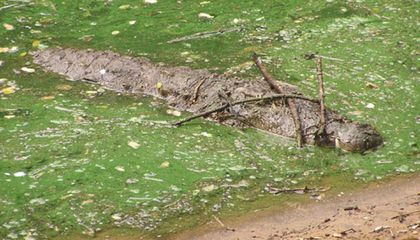 Crocodiles Balance Twigs on Their Heads to Lure Nest-Building Birds