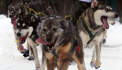 Understanding the Doping Controversy That's Hit Sled Dog Racing