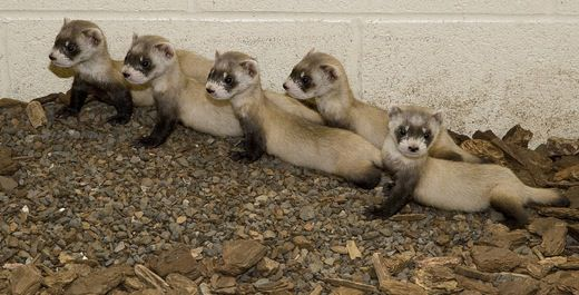 Black-footed ferrets at the National Zoo