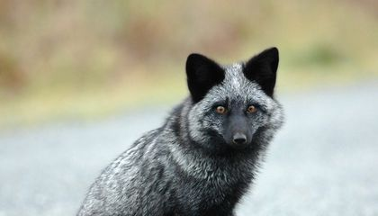 What the Fox Genome Tells Us About Domestication