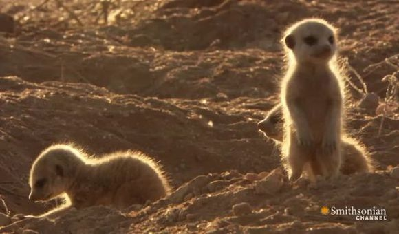Preview thumbnail for video'Baby Meerkats at Play