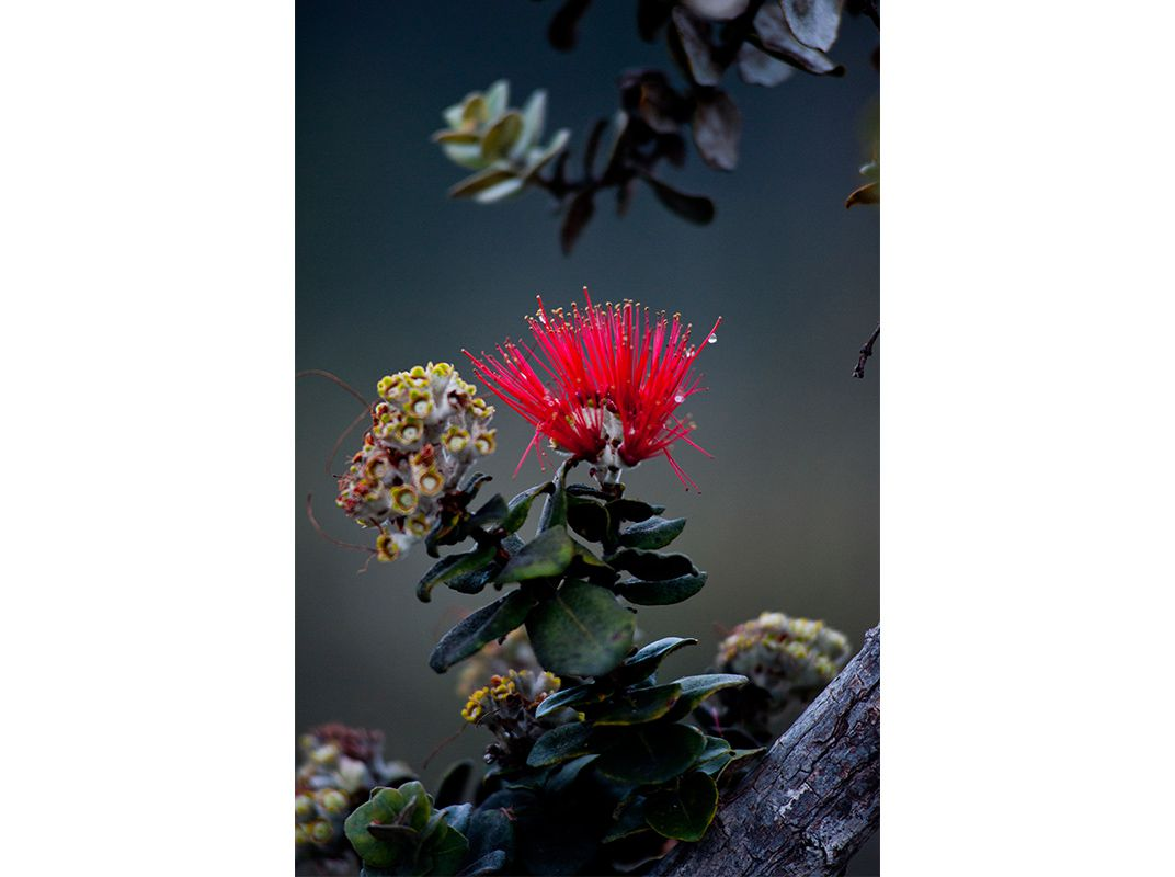 state flower of hawaii crossword - These flowers are very beautiful, here we provide a collections of various pictures and photos of beautiful flowers, ...